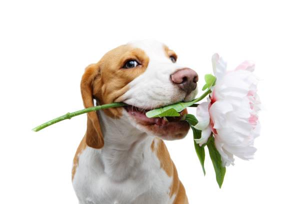 beautiful beagle dog with flower – zdjęcie