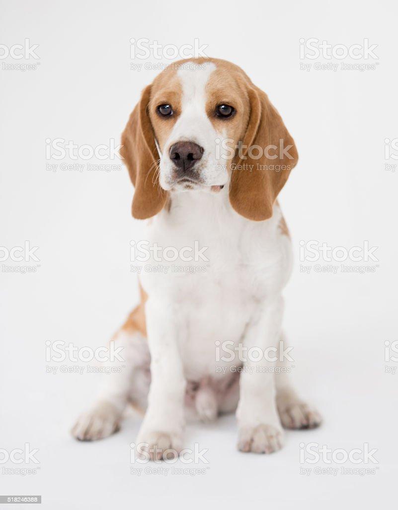 Beautiful Beagle puppy stock photo