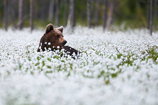 Beautiful bear among the cotton grass stock photo