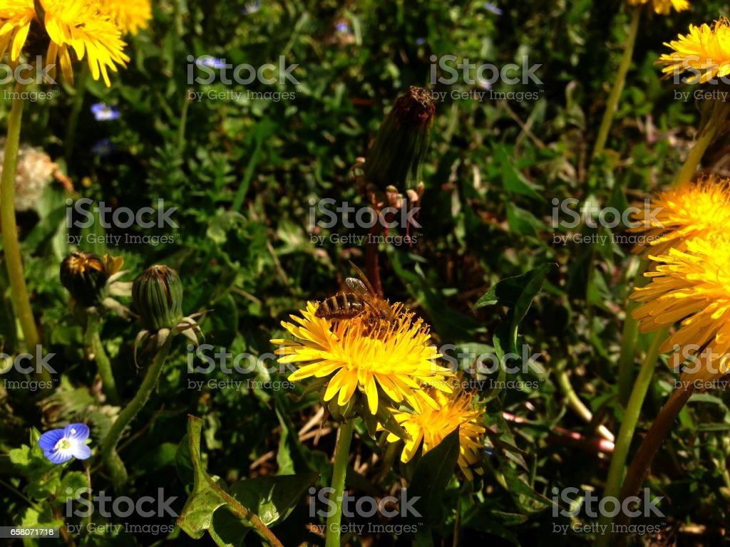 Beautiful bee and flower royalty-free stock photo