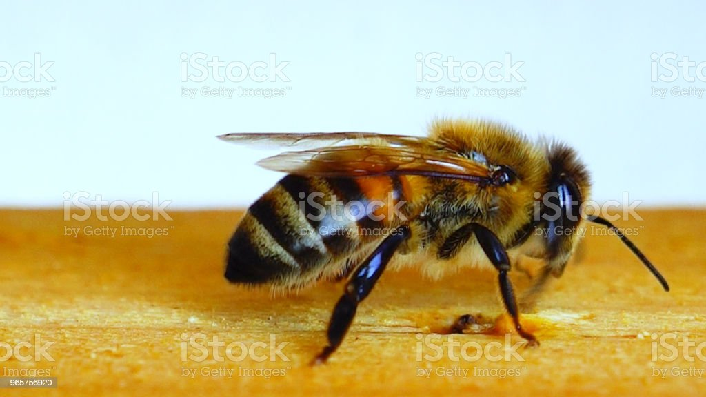 Beautiful Bee, Beekeeping - Royalty-free Ant Stock Photo