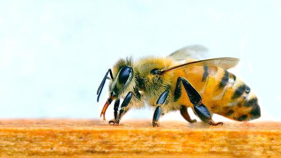 Mooie Bee Bijenteelt Stockfoto en meer beelden van Bee Fly