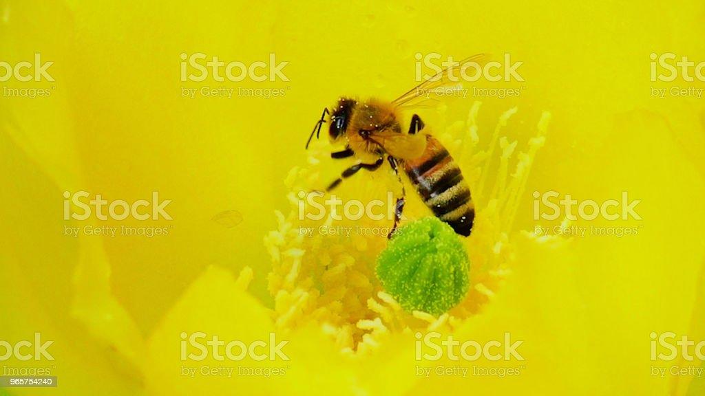 Mooie Bee op een gele bloem, bijenteelt - Royalty-free Bee Fly Stockfoto