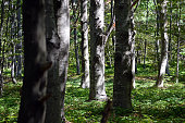 A beautiful beech forest in the summer. A game of light and shadow. Trees in the forest.