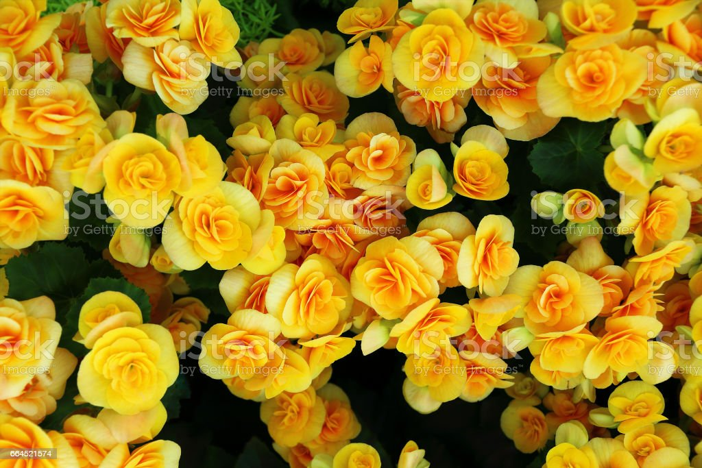 beautiful begonia flowers for pattern and background foto