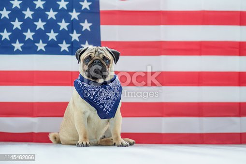 489224301 istock photo Beautiful beige puppy pug on the background of the American flag on Independence Day. 1145462066