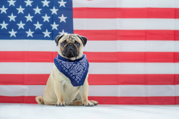 Beautiful beige puppy pug on the background of the American flag on Independence Day. Pug on the background of the American flag. Beautiful beige puppy pug on the background of the American flag on Independence Day. happy 4th of july photos stock pictures, royalty-free photos & images