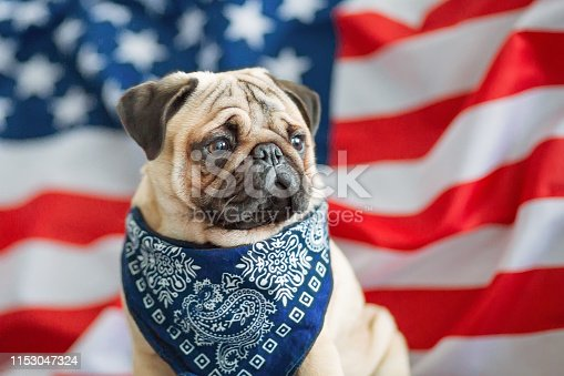 489224301 istock photo Beautiful beige puppy pug on the background of the American flag on Independence Day. 1153047324