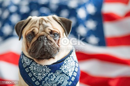 489224301 istock photo Beautiful beige puppy pug on the background of the American flag on Independence Day. 1153047331