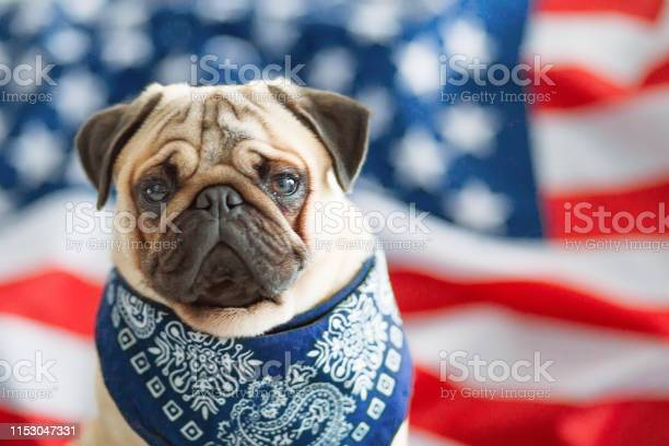 Beautiful beige puppy pug on the background of the american flag on picture id1153047331?b=1&k=6&m=1153047331&s=612x612&h=sjxsa7snfiwvnerh9wanywe10gn49ivz7oakd454xp0=