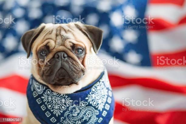 Beautiful beige puppy pug on the background of the american flag on picture id1153047331?b=1&k=6&m=1153047331&s=612x612&h=sjxsa7snfiwvnerh9wanywe10gn49ivz7oakd454xp0=
