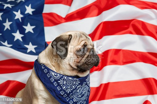 489224301 istock photo Beautiful beige puppy pug on the background of the American flag on Independence Day. 1153047376