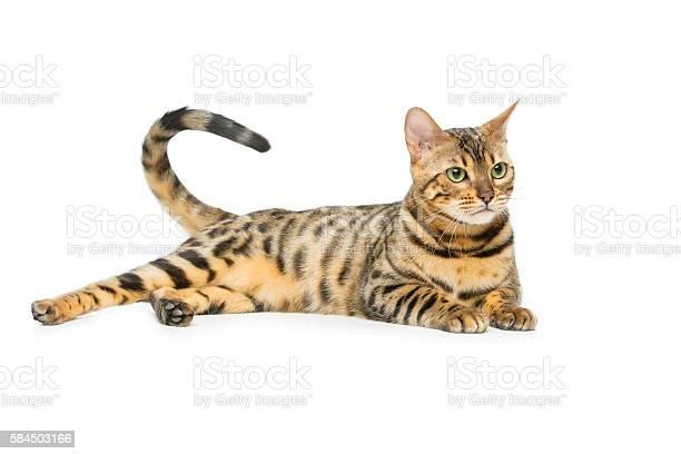 Beautiful bengal cat picture id584503166?b=1&k=6&m=584503166&s=612x612&h=449q0vg7j1sjjvrl3qduhbywdxh4sf k72scyikovba=