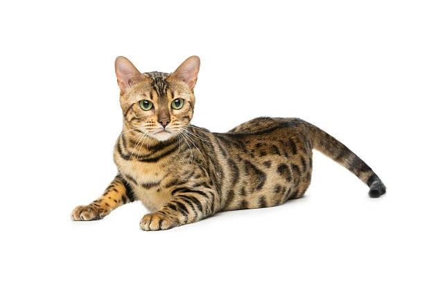 Beautiful bengal cat – zdjęcie