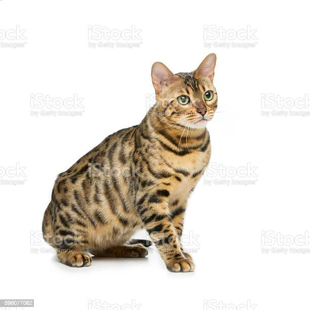 Beautiful bengal cat picture id596077062?b=1&k=6&m=596077062&s=612x612&h=iezrvbq6okn6r8eqvntf c1up wc2ilmef kmpj lk0=
