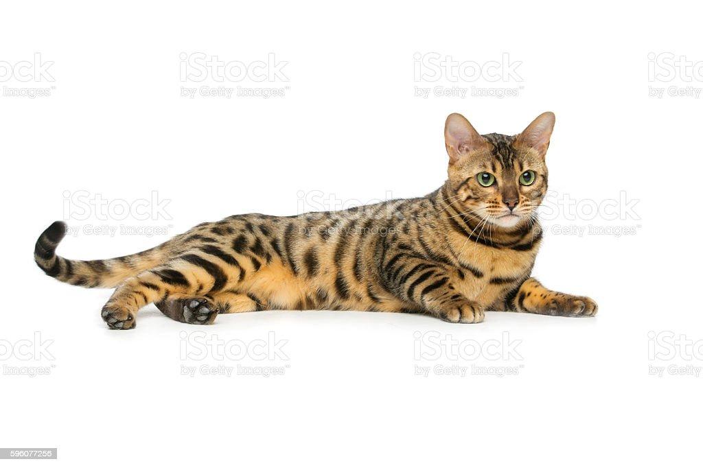 Beautiful bengal cat royalty-free stock photo