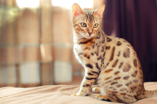 beautiful bengal cat sitting on a bed and turning round