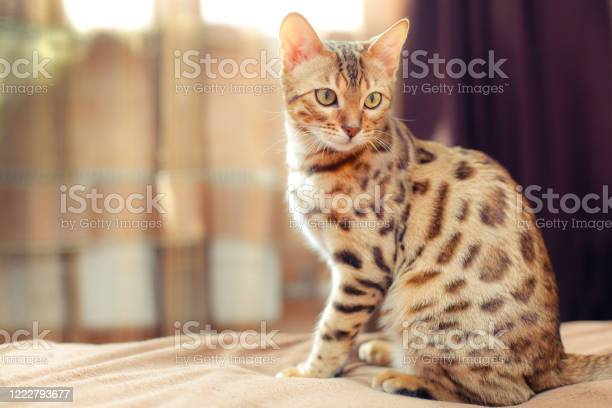 Beautiful bengal cat sitting on a bed and turning round picture id1222793677?b=1&k=6&m=1222793677&s=612x612&h=4 xcwsrvxrrppsml 8oq7nubxziasy4oy kkrl5m3fq=