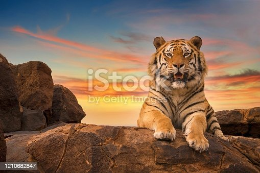 Low angle view of a solitary adult Bengal tiger (Panthera tigris), with his face and paws visible, looking at the camera from the top of a rocky hill, with a beautiful sunset sky in the background.