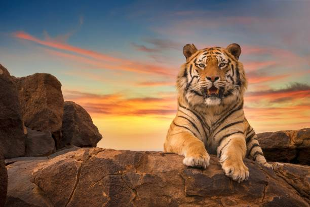 a beautiful bengal tiger (panthera tigris) relaxing on a rocky outcrop at sunset. - bengal tiger stock pictures, royalty-free photos & images
