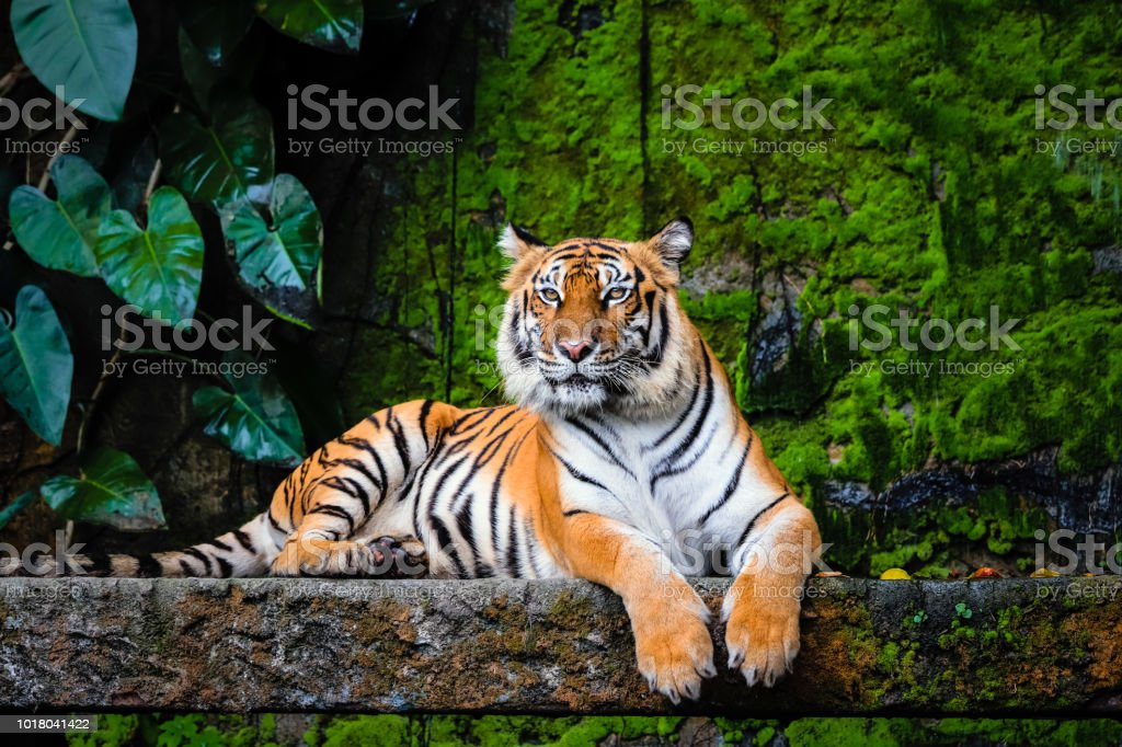 Schöne Bengal Tiger Mit üppigen Grünen Lebensraum Stockfoto Und Mehr