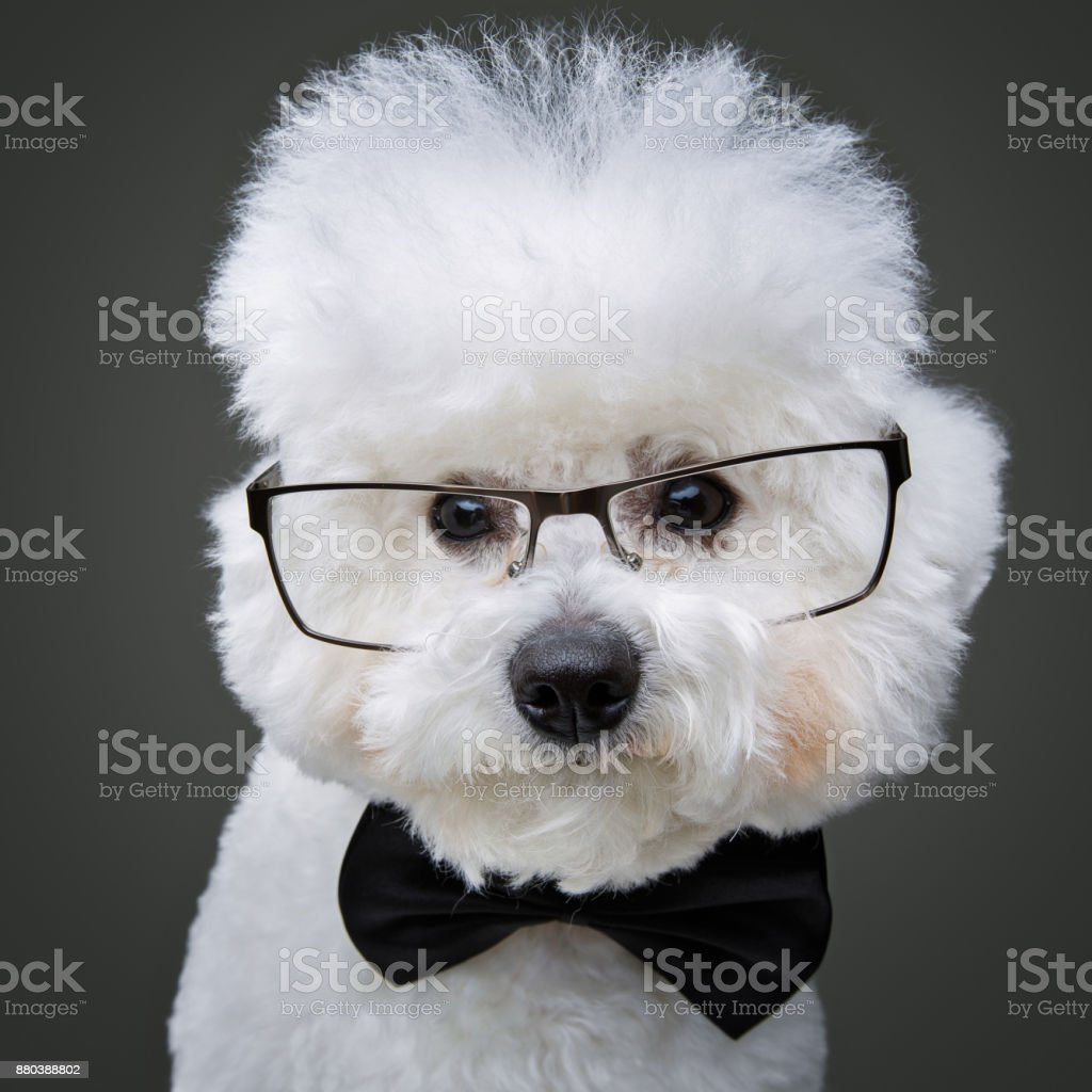 beautiful bichon frisee dog in bowtie and glasses – zdjęcie
