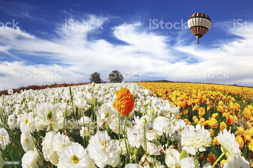 Beautiful big balloon flies over the field royalty-free stock photo