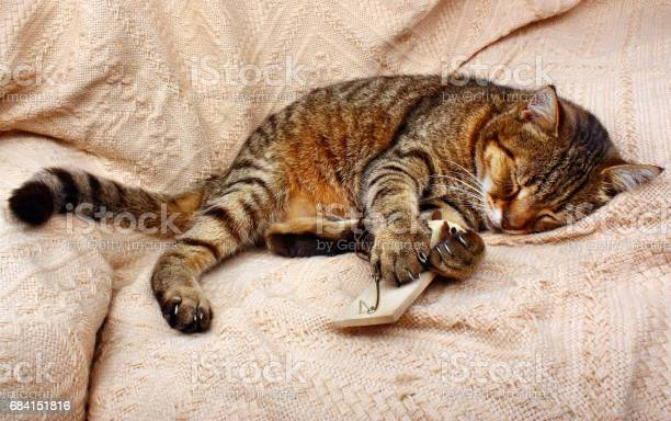 Beautiful big cat slept with mousetrap and a toy mouse on a blanket picture id684151816?b=1&k=6&m=684151816&s=612x612&h=gf9ys0jrp9ez9xy5vcex1oyfs2cq 38odwtwd44tr0a=