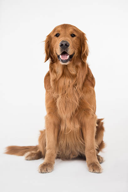beautiful big dog - golden retriever stock photos and pictures