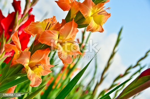 A beautiful big field of many gladiolus in different bright colours growing into the blue sky in summer