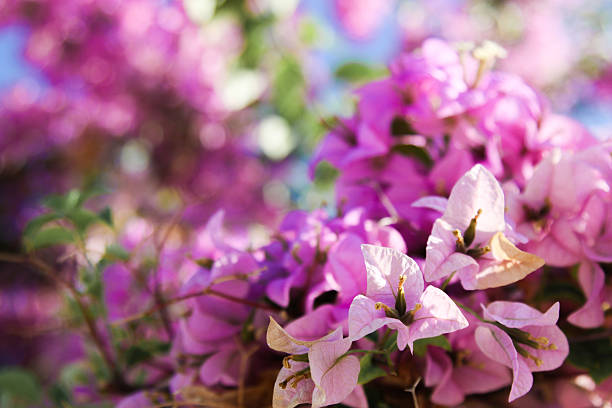 beautiful big flower bush in purple - charming stock photos and pictures