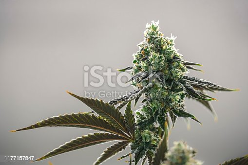 Large weed nug growing on indoor plant at commercial cannabis farm