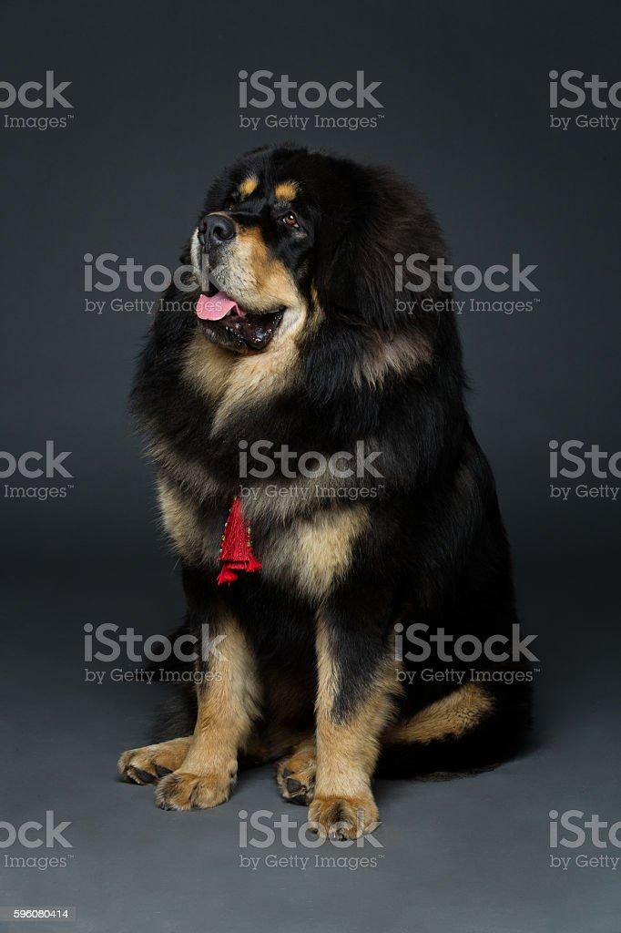 Beautiful big Tibetan mastiff dog royalty-free stock photo