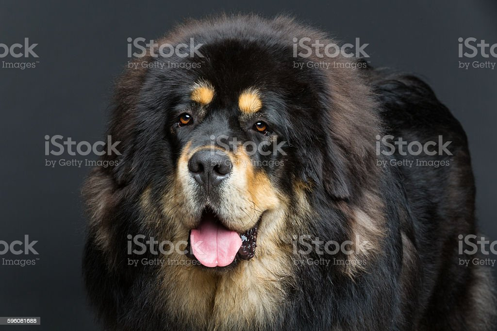 Beautiful big Tibetan mastiff dog royalty-free stock photo