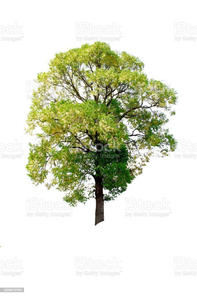 Beautiful big Tree isolated on white background stock photo