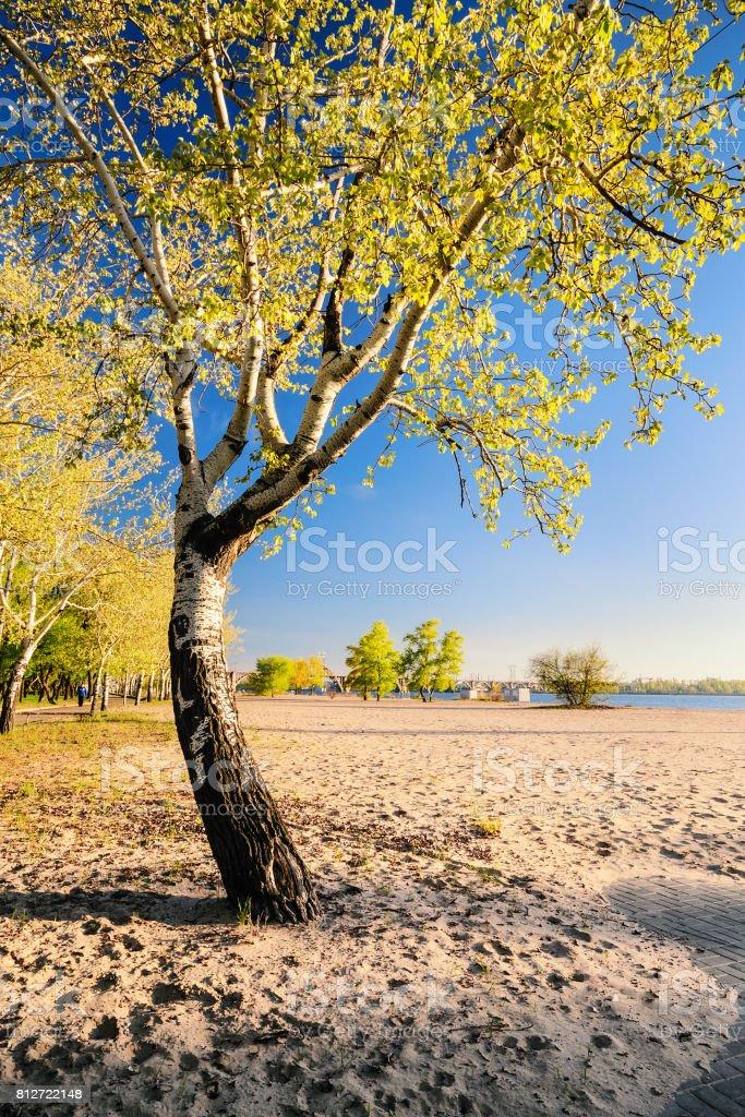 Beautiful birch tree in the golden rays of the rising sun on the beach II stock photo