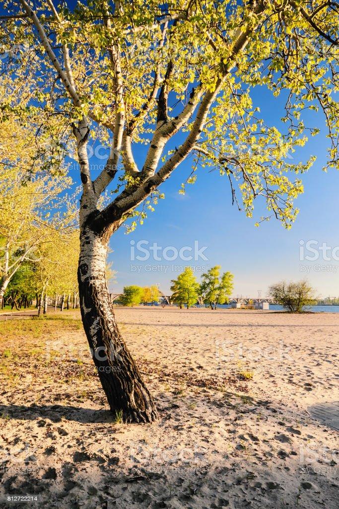 Beautiful birch tree in the golden rays of the rising sun on the beach III stock photo