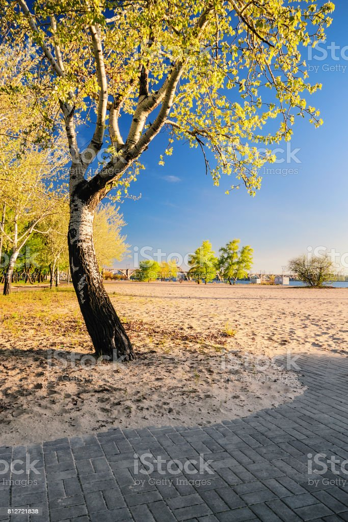 Beautiful birch tree in the golden rays of the rising sun on the beach stock photo