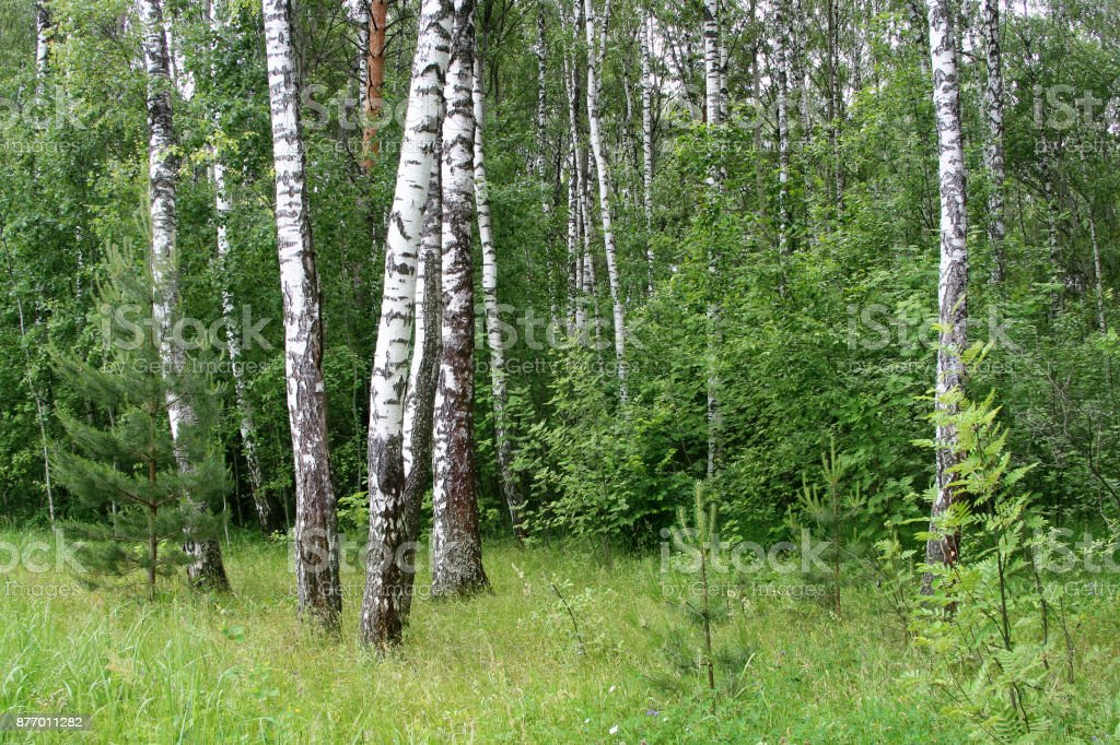 Beautiful birch trees stock photo