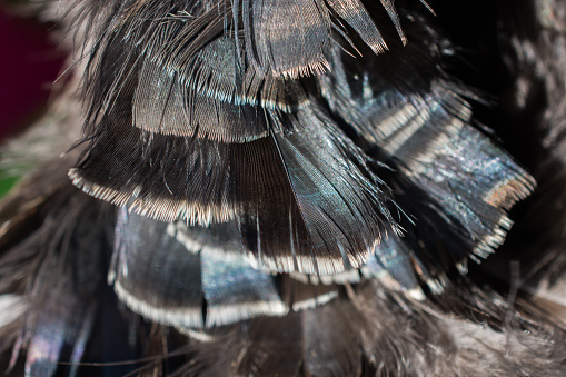 Mooie Vogel Veren Voor Decoratieve Doeleinden Stockfoto en meer beelden van Blauw