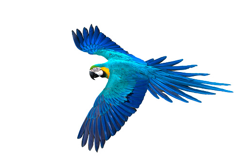 Beautiful bird flying , Blue and gold macaw flying isolated on white background
