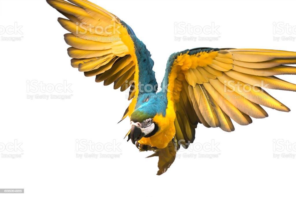 Photo de stock de magnifique oiseau qui vole sur fond blanc un trac de d tourage images libres - Jeux d oiseau qui vole ...
