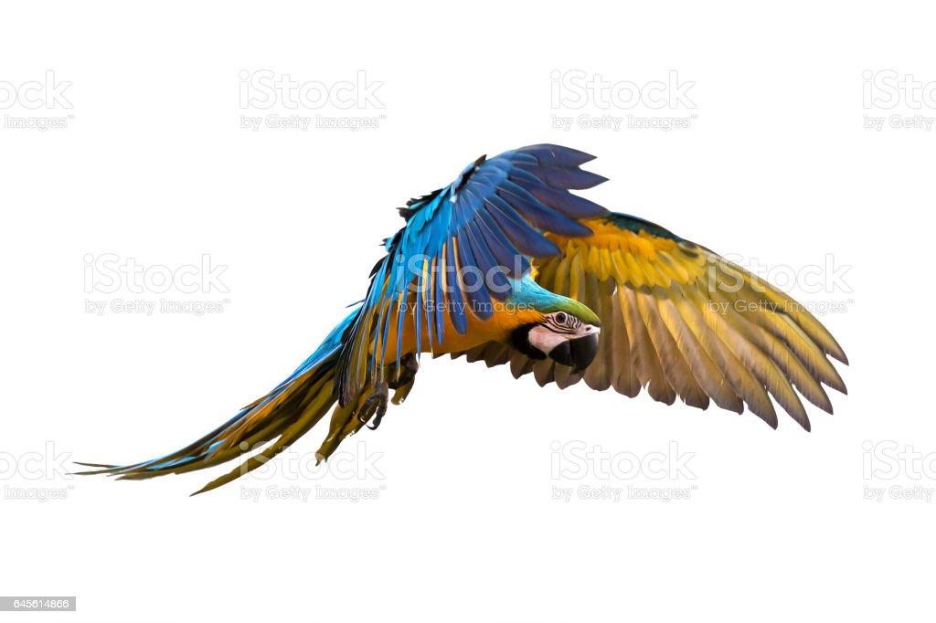 Magnifique oiseau qui vole sur fond blanc photos et plus d 39 images de animaux de compagnie istock - Jeux d oiseau qui vole ...