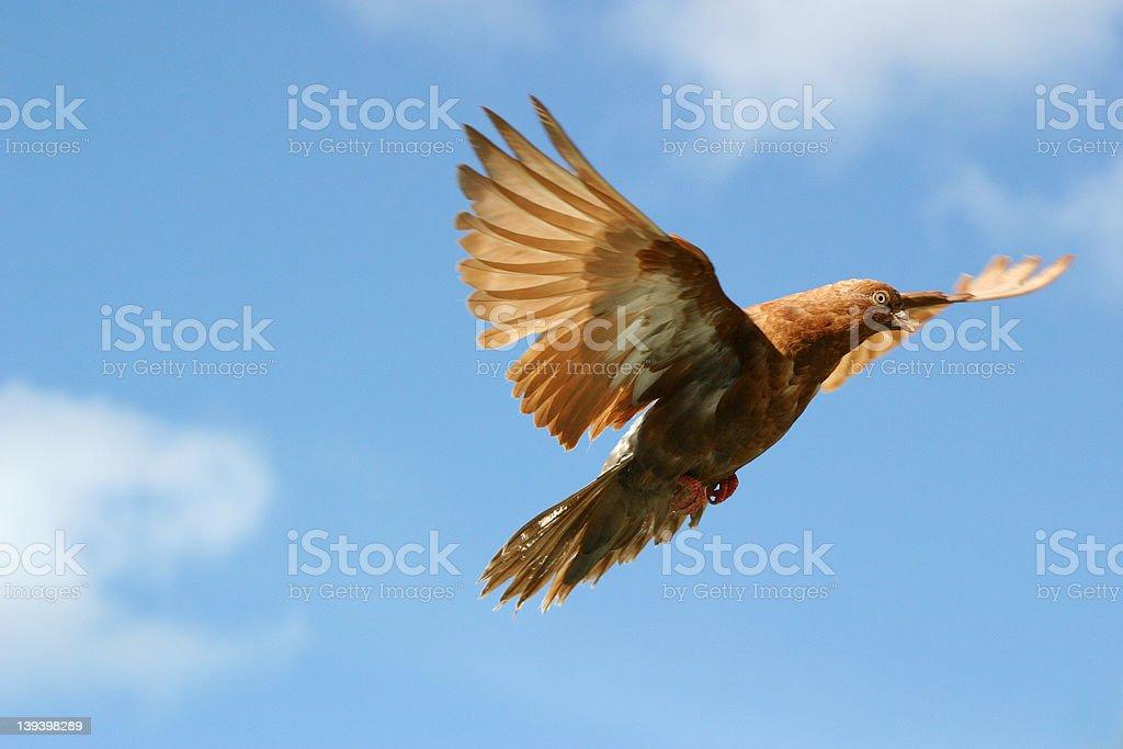 Beautiful bird flying royalty-free stock photo