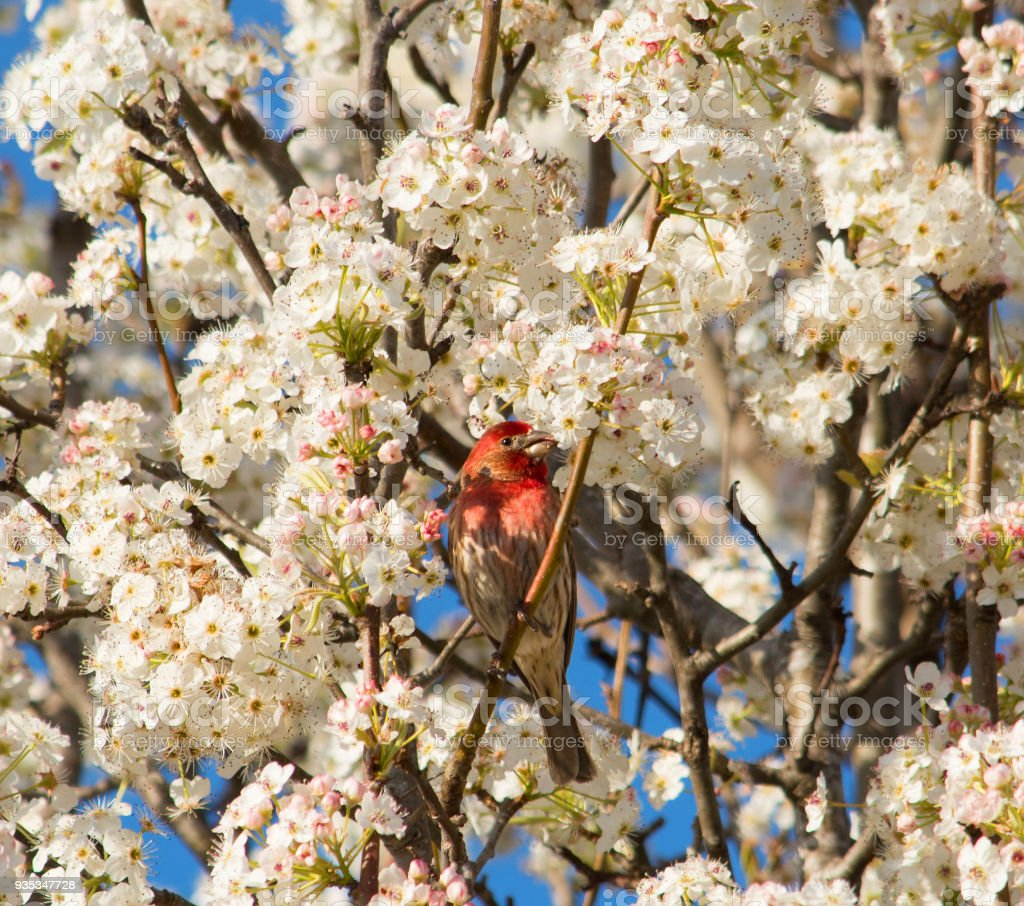 Beautiful bird, house finch sitting on the blooming tree. stock photo