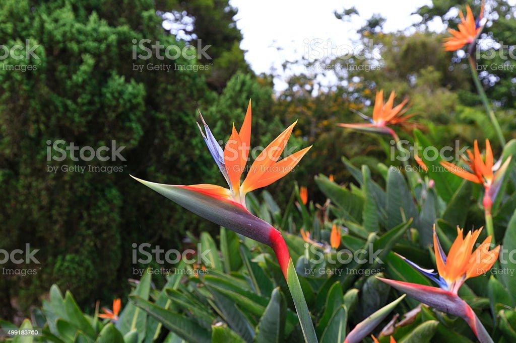 Beautiful bird of paradise flower stock photo