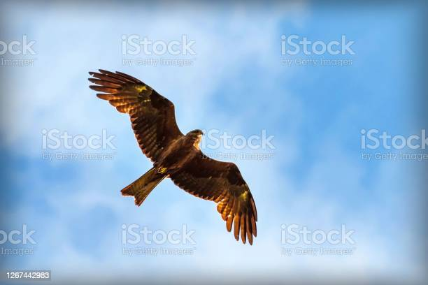 Photo of Beautiful bird of prey in flight against a blue sky with clouds, red kite