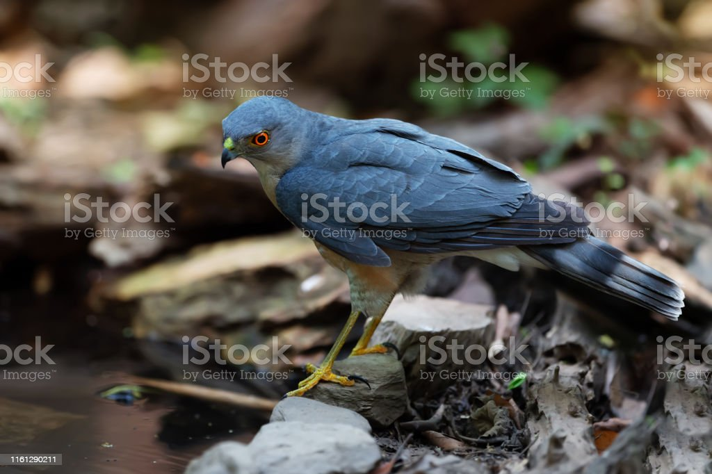 Besra bird of prey, standing at puddle before drinking water,...