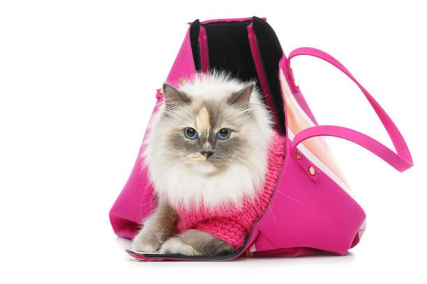 beautiful birma cat in pink pullover – zdjęcie