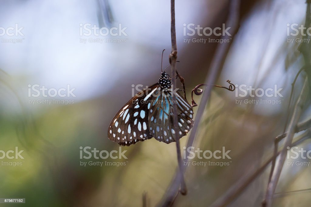 Beautiful black and blue butterfly insect on a stick stock photo